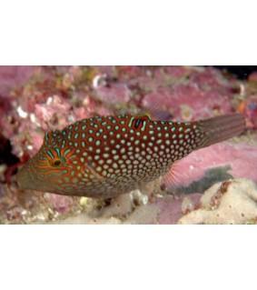 Canthigaster janthinoptera - Maldive Puffer