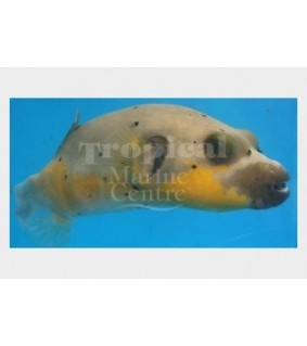 Arothron nigropunctatus , Yellow Belly Dogface Puffer