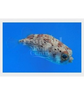 Diodon holocanthus , Porcupine Puffer