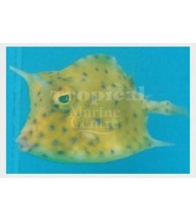 Lactoria quadricornis , Caribbean Cowfish