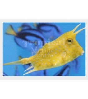 Lactoria cornuta , Long Horn Cowfish