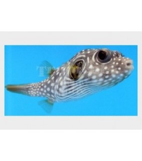 Arothron hispidus , Coloured Dogface Puffer