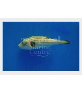 Arothron sp. , Common Dogface Puffer