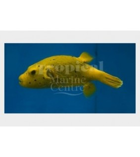 Arothron meleagris , Golden Dogface Puffer