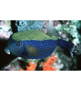 Ostracion cyanurus , Red Sea Boxfish