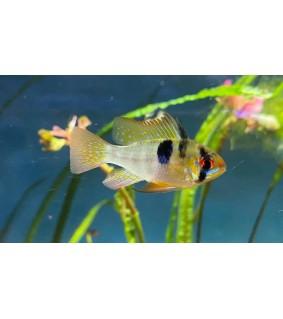 Perhoskirjoahven 3,5-4 cm - Microgeophagus ramirezi