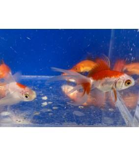 Kultakala fantail  punavalkoinen 3-5 cm - Carassius auratus