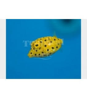 Ostracion cubicus , Yellow Boxfish
