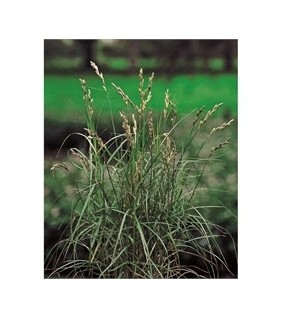 Palmusara - Carex muskingumensis