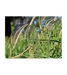 Nuokkusara - Carex pendula
