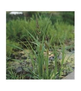 Vankkasara - Carex riparia