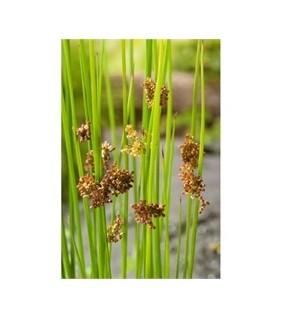 Röyhyvihvilä - Juncus effusus