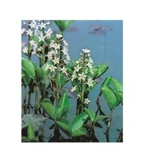 Raate - Menyanthes trifoliata