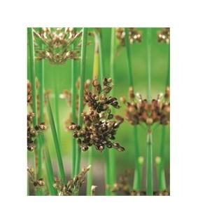 Järvikaisla - Scirpus lacustris