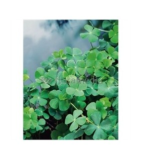 Apilasaniainen - Marsilea quadrifolia