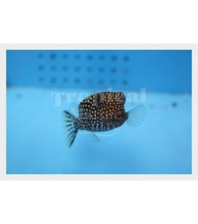 Ostracion meleagris , Black Boxfish