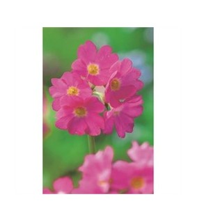 Himalajanesikko - Primula rosea