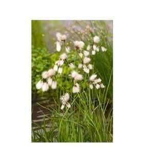 Luhtavilla - Eriophorum angustifolium
