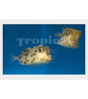 Rhynchostracion nasus , Common Boxfish