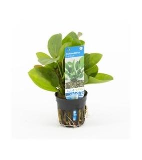 Echinodorus harbich green