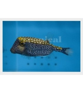 Ostracion meleagris , Hawaiian Blue Boxfish , koiras