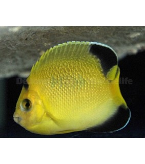 Apolemicthys armitagei - Sitruunakeisarikala