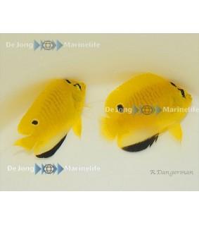 Apolemicthys trimaculatus - Täpläkeisarikala