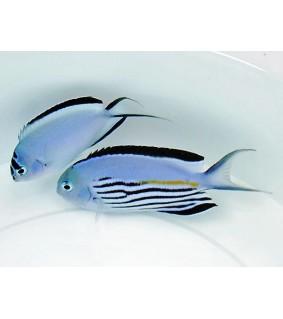 Genicanthus watanabei - Saumaruhtinaskala