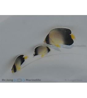 Apolemicthys xanthurus , Savukeisarikala
