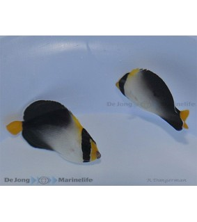 Chaetodontoplus mesoleucus - Perhokeisarikala