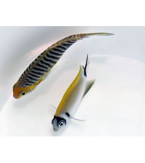 Genicanthus semifasciatus - Kultaruhtinaskala