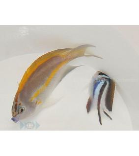 Genicanthus bellus - Koruruhtinaskala