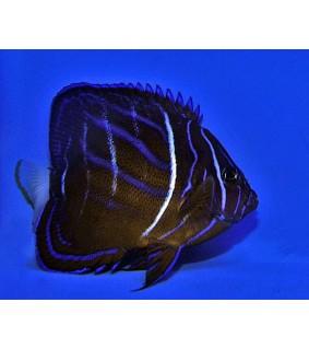 Pomacanthus annularis , Rengaskeisarikala , aikuisväri