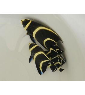 Pomacanthus paru , Kultakeisarikala , nuoren väritys
