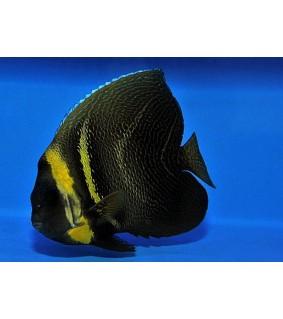 Pomacanthus zonipectus , Kudoskeisarikala