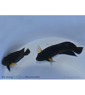 Centropyge flavipectoralis , Keltaeväherttuakala