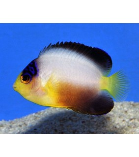 Centropyge multicolor , Palettiherttuakala