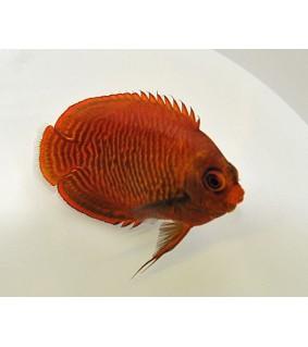 Centropyge aurantia , Kultaherttuakala