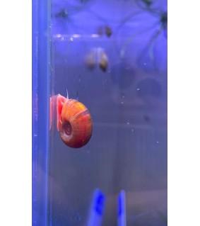 Planorbella duryi 1 - 1,5 cm