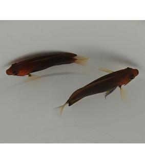 Centropyge fisheri , Persikkaherttuakala
