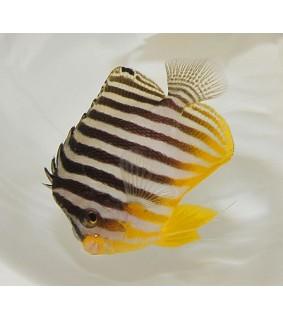 Paracentropyge multifasciata , Seepraherttuakala