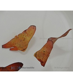 Platax orbicularis , lepakkokala