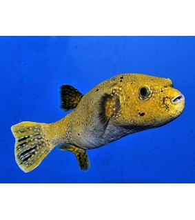 Arothron meleagris , Yellow Dogface Puffer