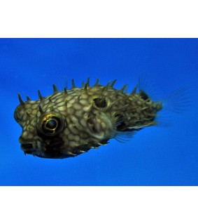 Chilomycterus antillarum , Honeycomb Spiny Boxfish