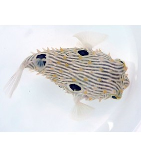 Chilomycterus schoepfii , Spiny Boxfish