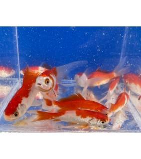 Kultakala sarasa 7-10 cm - Carassius auratus