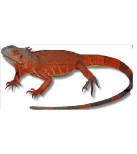 Igunana iguana red CB 35-50 cm