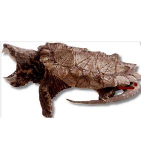 Macrochelys temminckii Alligaattorikilpikonna baby-small