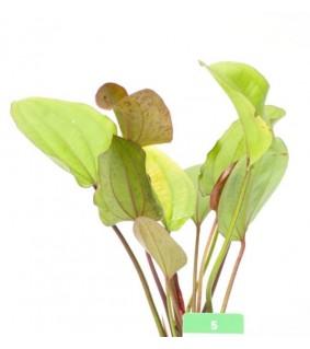 Echinodorus IpiCa