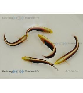Halichoeres iridis , Multicolour Wrasse